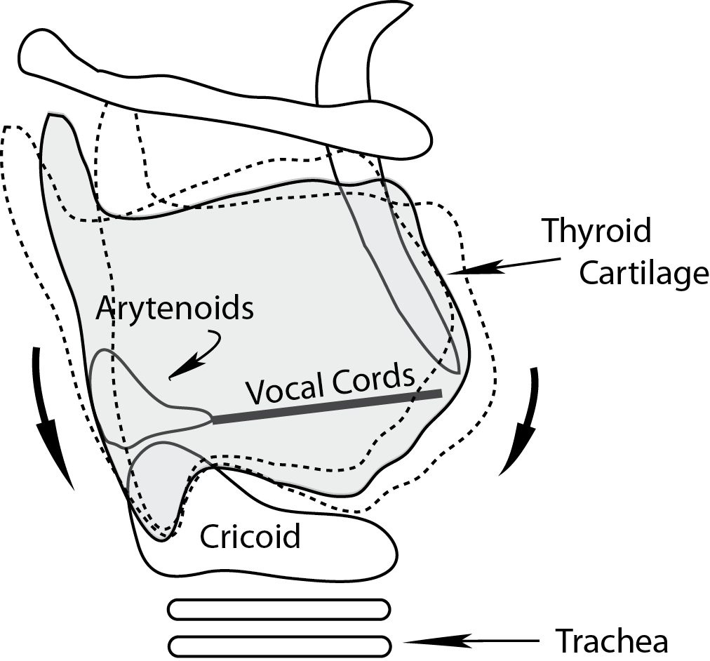 Illustration showing the rocking laryngeal movements affecting tension of the vocal cords.